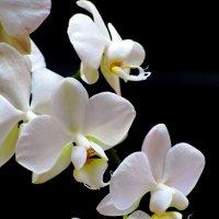Белая орхидея :: Сергей Карачин