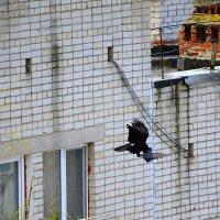 Ворон и голубь :: Сергей Щеблыкин