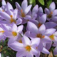 Крокусы весной :: Mariya laimite