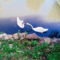 Лебеді :: Танюша