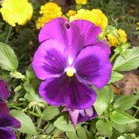 Viola tricolor 31 :: Андрей Lactarius