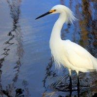 Белая цапля. :: оля san-alondra