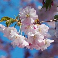 Сакура цветет :: Анна Васильева (Anna-82V)