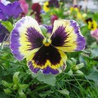 Viola tricolor 37 :: Андрей Lactarius