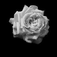 роза :: Александр ***