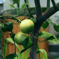 Зеленые лимончики :: dindin