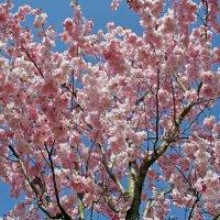 Сакуры цветение :: Alexander Andronik