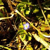 Весенний цветочек :: Татьяна Королёва
