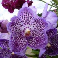 Орхидея :: Наталья Т
