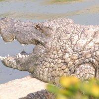 Большая крокодила по берегу ходила :: Raduzka (Надежда Веркина)