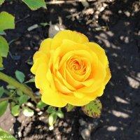 Роза :: Ната57 Наталья Мамедова