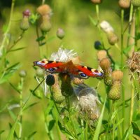 Бабочка на колючках :: Татьяна Лобанова