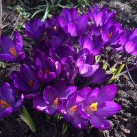 Весны ликование! :: Mila .