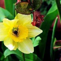 пчелка на пит-стопе :: Александр Корчемный
