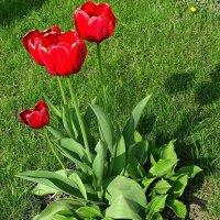 Тюльпаны -вестники весны :: Милешкин Владимир Алексеевич