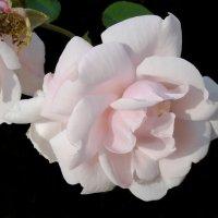 Нежные розы :: lady v.ekaterina