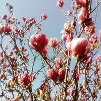 Магнолія цвіте :: Степан Карачко