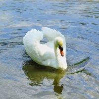 Лебедь самец. :: vodonos241