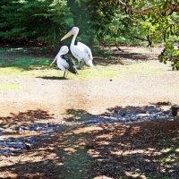 Пеликаны :: Лариса