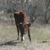 Корова и жёлтая трясогузка :: Елена Елена
