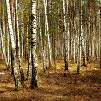 Апрель в березовом лесу :: Нэля Лысенко
