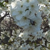 Цветение вишни :: Giant Tao /