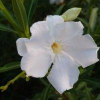 Нежный цветик :: Raduzka (Надежда Веркина)