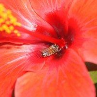 Гибискус и пчелка!!!!!!! :: Татьяна Гусева