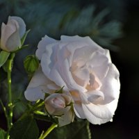 Роза белая на рассвете... :: Vit