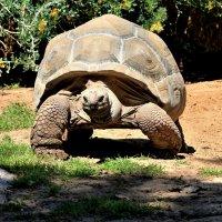 Гигантская черепаха :: Аркадий Басович