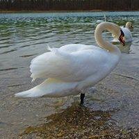 Белоснежный красавец! :: Galina Dzubina