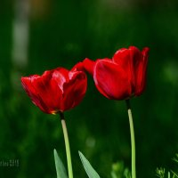 В чаще заброшенного парка стояла парочка ...тюльпанов. :: Светлана Ивановна Медведева