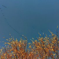 весна - прилёт гусей :: Александр Прокудин
