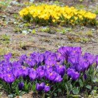 Крокусы всех цветов повсюду! :: Татьяна Помогалова