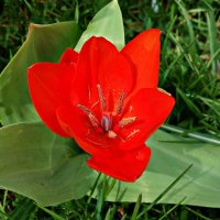 """""""Красные тюльпаны - шёлковые чаши, По весне лазурной нет нежней и краше..."""" :: Galina Dzubina"""
