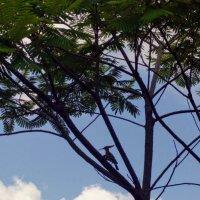 Удод  на  дереве :: Инна Крыжановская