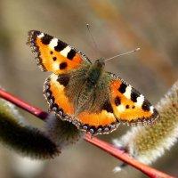 и снова про бабочек...5 :: Александр Прокудин