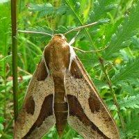 Бабочка бражника молочайного. :: vodonos241