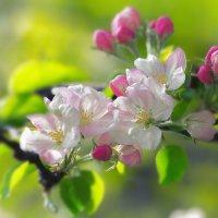 Вдыхая запах яблони в цвету, я по траве ступаю осторожно. :: Николай Ковтун