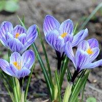 Крокусы-цветы радости! :: Татьяна Помогалова