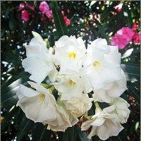 Белый олеандр :: Лариса