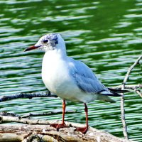 Озёрная чайка (Larus ridibundus :: vodonos241