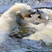 Белые медведи :: Ольга (crim41evp)