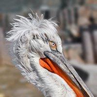 Кудрявый пеликан :: олег