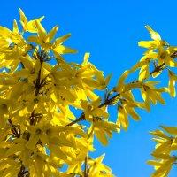 весенние цветы IMG_2345 :: Олег Петрушин