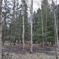 Весенний лес :: Сапсан