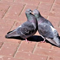 Любовь и голуби :: Вячеслав Маслов