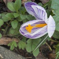 Первоцветы в Аптекарском огороде :: marmorozov Морозова