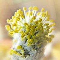 Цветок вербы :: Попкова Александра