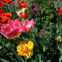 Разноцветье тюльпанов.. :: Любовь С.